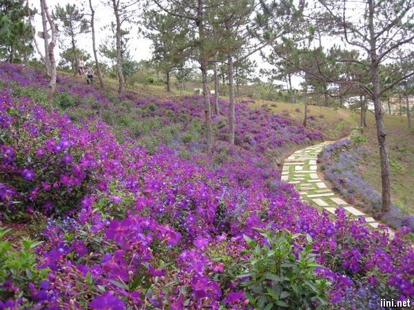 vườn hoa sim tím nở