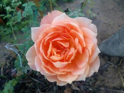 Hoa hồng leo Lady of shalot (Hồng leo Cẩm My) (Nguồn ảnh: vườn hồng Vân Loan, Sa Đéc)