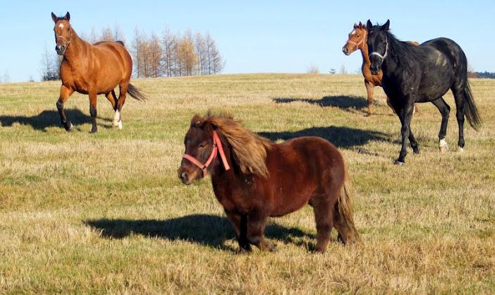 Park Krajobrazowy Gór Słonnych, dzięcioł duży, stadniny, konie na Mostach,