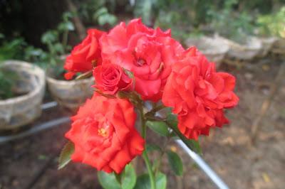 Hồng chùm son Sa Đéc, 1 giống hồng nở hoa chùm