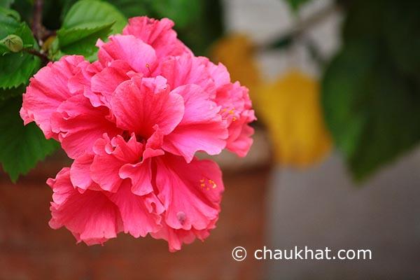 Hibiscus Mutabilis [AKA Confederate Rose, Cotton Rosemallow, Changeable Rosemallow]
