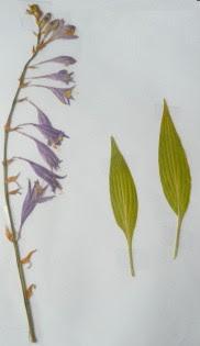 Hosta lancetolisnta okaz zielnikowy
