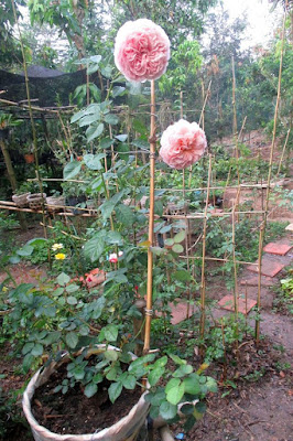 Hoa hồng ngoại Abraham Darby tại vườn Vân Loan Sa Đéc
