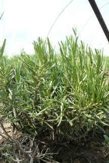 Rozmaryn ogrodowy Rozmarinus officinalis