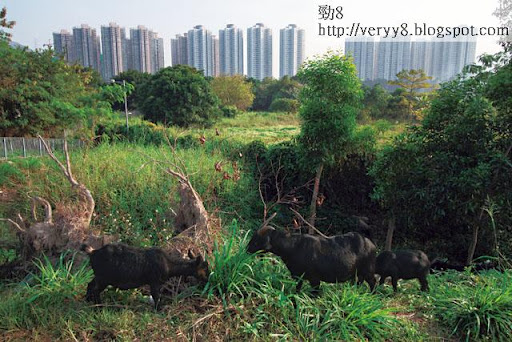 自政府九八年首次公布計劃發展新界東北,四大發展商早已開始盤踞農地,估計合共坐擁新界逾六成土地,這些農地大部分荒廢,渺無人煙,只間中有羊隻前往吃草。