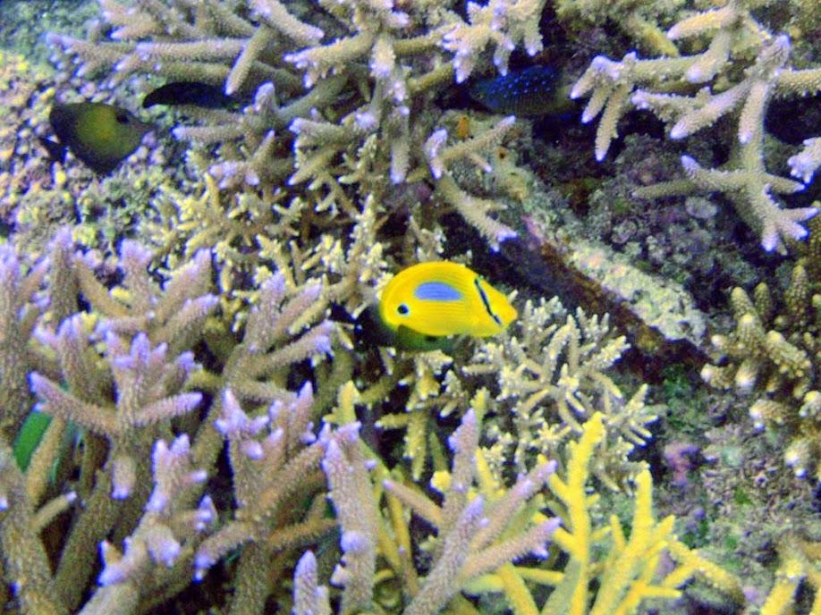 Chaetodon plebeius (Blue-spot Butterflyfish), Naigani Island, Fiji.