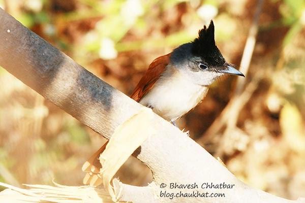 Asian Paradise Flycatcher [Juvenile Female]