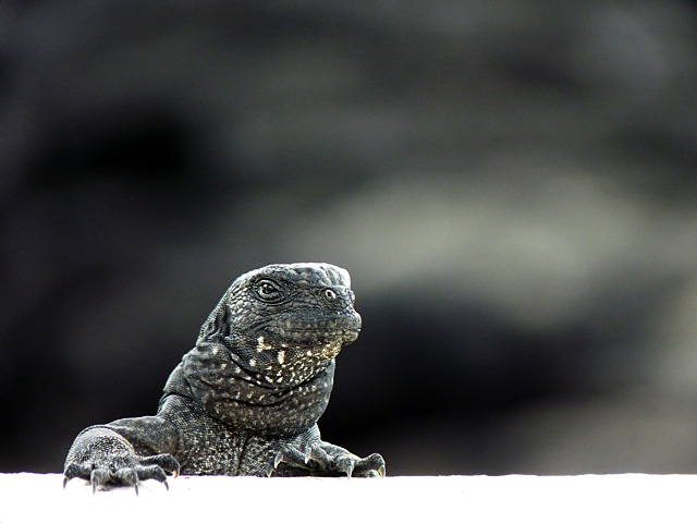 Baby marine iguana