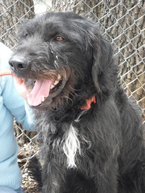 FILOU  - croisé Griffon / Labrador 11    ans (9 ans de refuge) -  Refuge de SISTERON  (04) SAM_0624