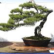 28 Pinus massoniana.JPG