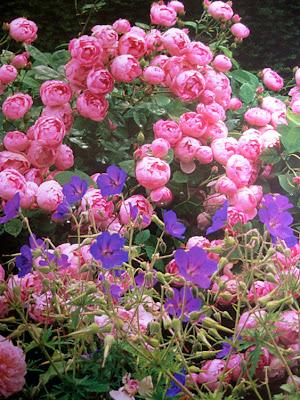 Lavanda rose rose inglesi for Rose inglesi