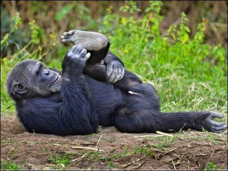 Chimpanzé se alongando