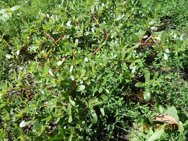 стелющееся растение (уличное!) DSCN0787