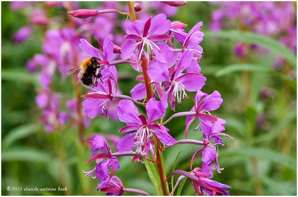 une fleur - ajonc - 20 janvier trouvée par Martine Epilobe-en-epi-ou-Laurier-de-St-Antoine-ou-Osier-fleuri-1000x660S