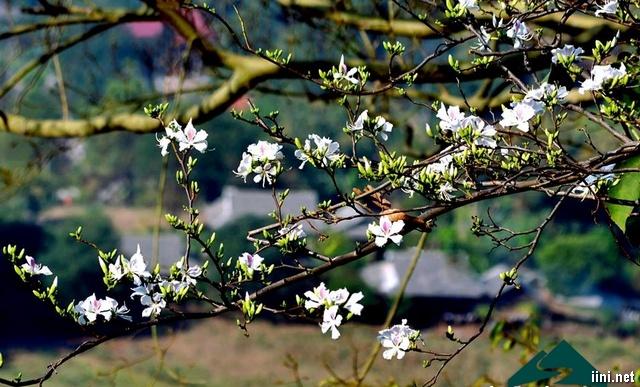 hoa ban Tây Bắc