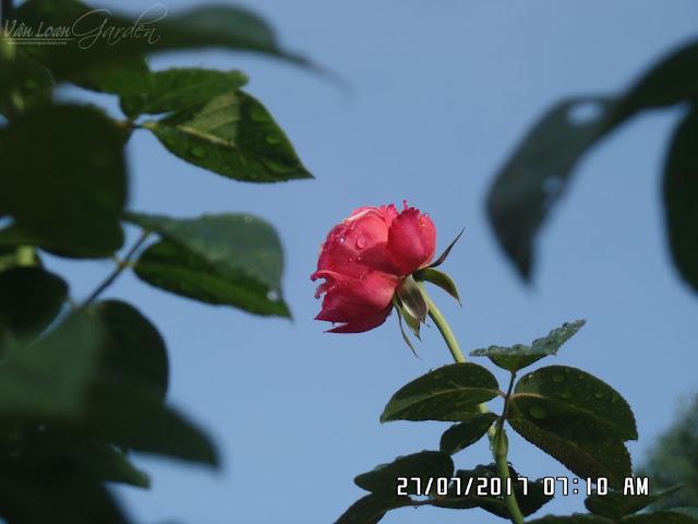 Nụ hoa hồng ngoại Kordes Jubilee Rose (Đức) rất to