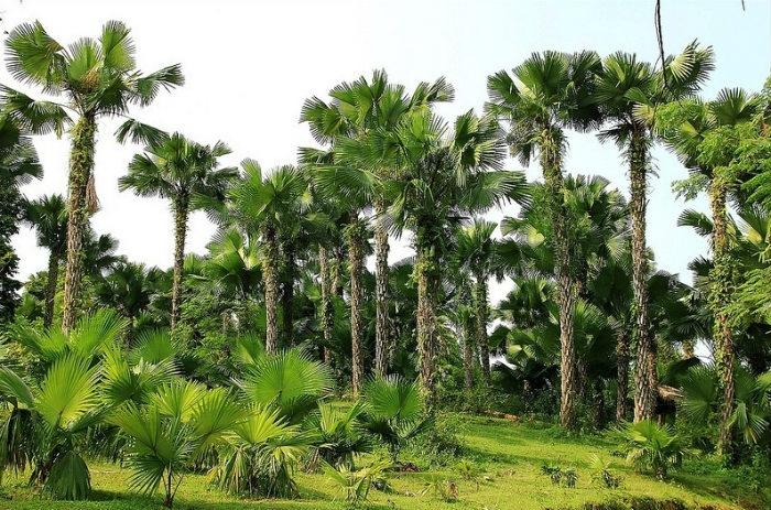 cây cọ ở Phú Thọ