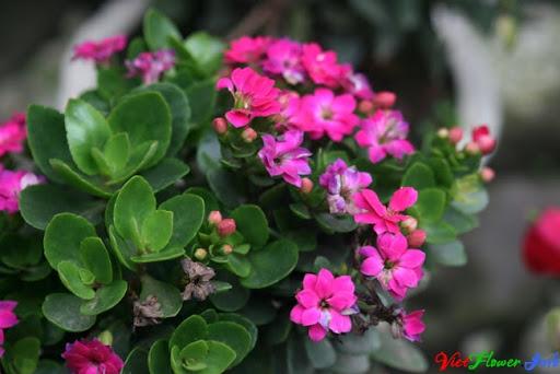 Bí quyết trồng và chăm sóc cây sống đời (trường xuân) trong chậu