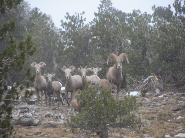 seven big horn sheep, two with quite large horns
