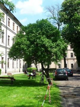 bez czarny w formie drzewa (ul. Grodzka)