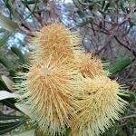 Banksia (256640)