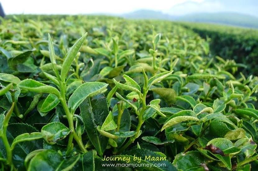 ชาเขียวญี่ปุ่นแท้_ไร่ชาเขียว_ไร่บุญรอด_1