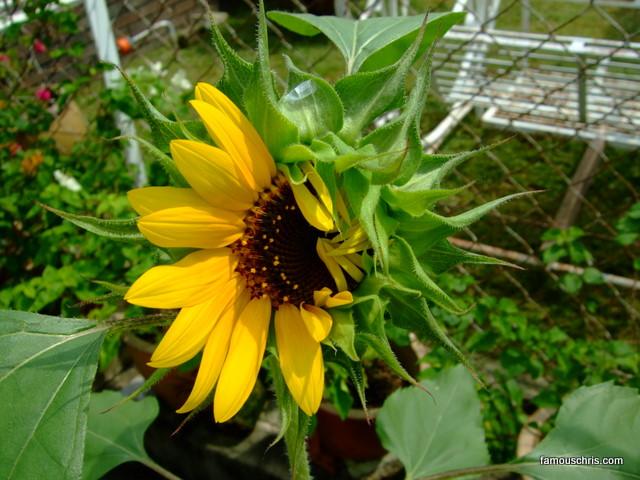 half bloom sunflower