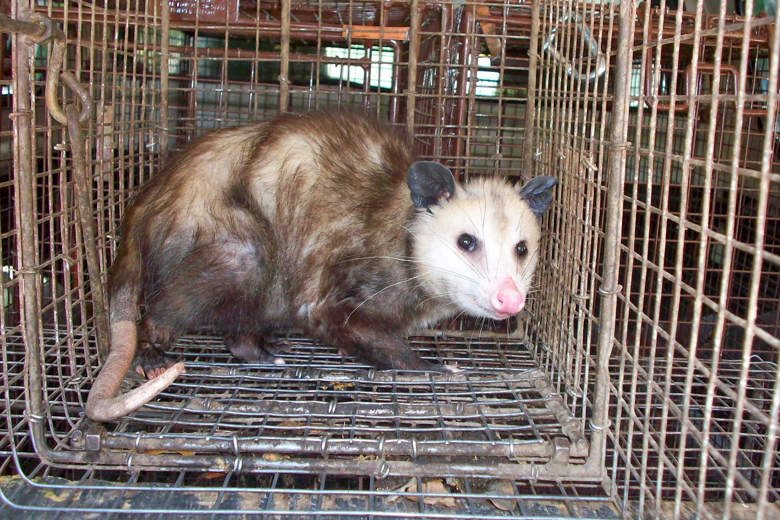 opossum trapping,snake trapping,pigeon trapping