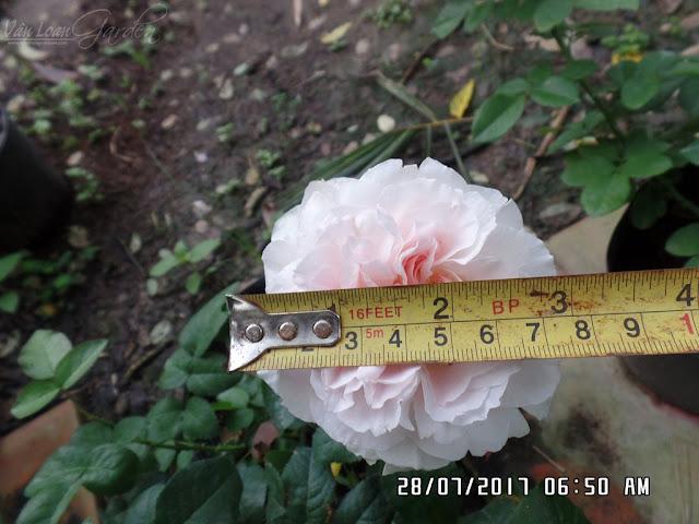 Hồng ngoại Miranda rose (David Austin) có đường kính hoa trung bình từ 7-9 cm khi trồng thực tế ở Việt Nam