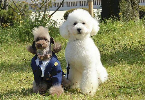 京都府警、トイプードルなど37頭を嘱託警察犬に任命