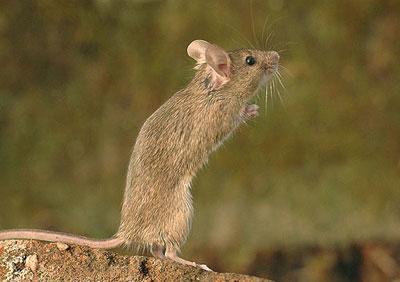 Đặc tính sinh học và sinh sản của chuột nhắt
