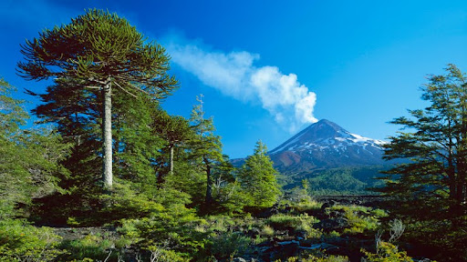 Volcano Llaima With Monkey Puzzle Tree, Conguillio National Park, Chile.jpg