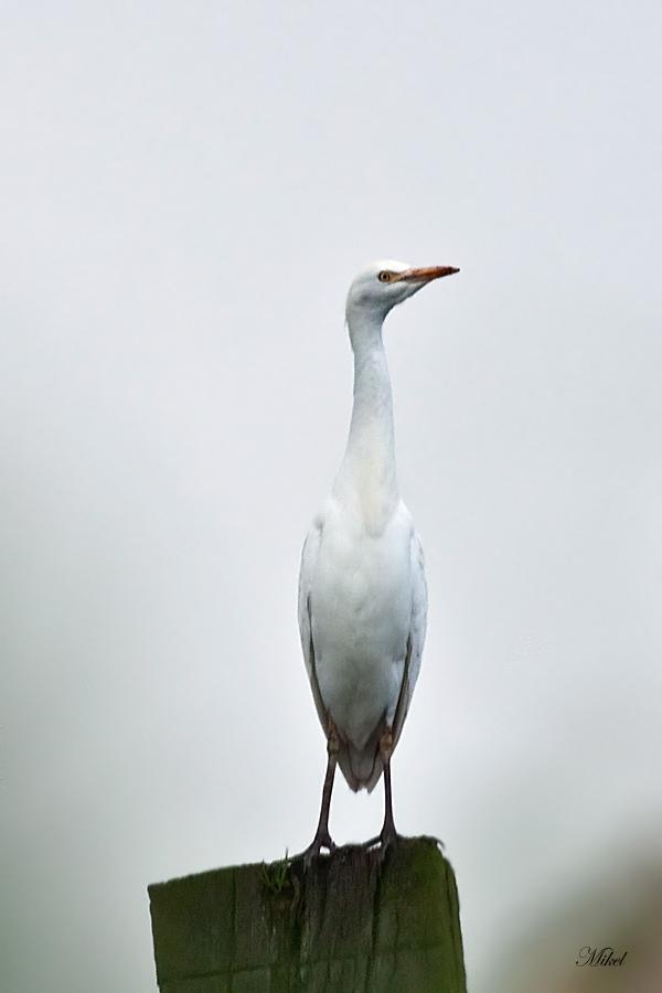 Garcilla bueyera  Bubulcus ibis