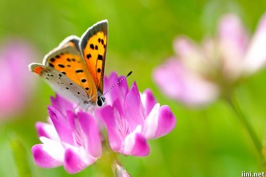 ảnh cánh bướm xuân xinh đẹp