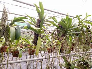 Hoa lan Ngọc Điểm - Nghinh Xuân - Đai Châu rừng trồng thuần tại vườn - 12