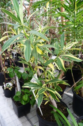 Oleander pospolity odmiana variegata