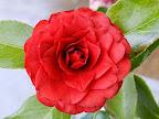 濃紅色 八重〜千重咲き 中大輪