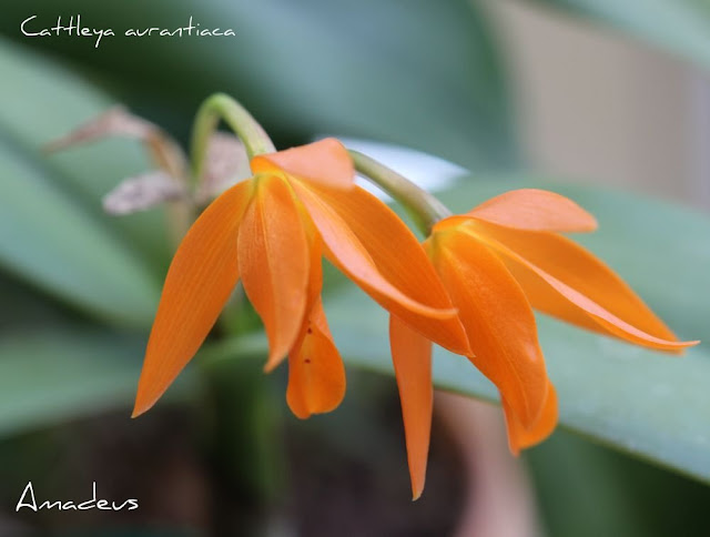 Cattleya aurantiaca  IMG_8983