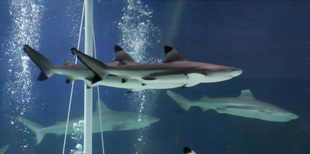 Seputar Dunia Perikanan Ternyata Ikan Hiu Buta Warna