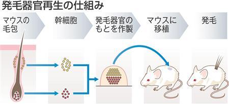 東京理科大チーム、毛の生える幹細胞移植で無毛マウスが発毛 何度も生え変わる