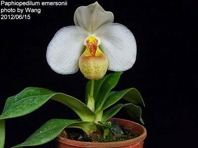 hài hương lan hoa trắng môi vàng, bông khá lớn và đẹp