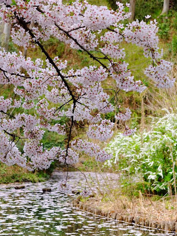 kirsikoit