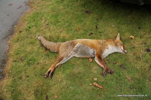 vossenjacht in de Bossen van overloon 18-02-2012 (27).JPG