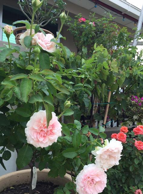 Chậu hồng Miranda rose của chị Linda Nuslin