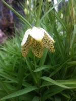 2012 03 22 貝母百合が咲き始めた。 花の中だけにえんじ色の網目模様。