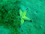 Northern Pacific Seastar (Asterias amurensis)