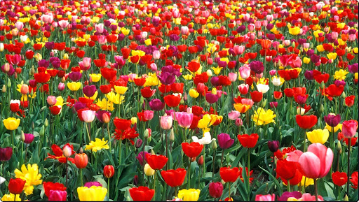 Colorful Tulip Garden.jpg