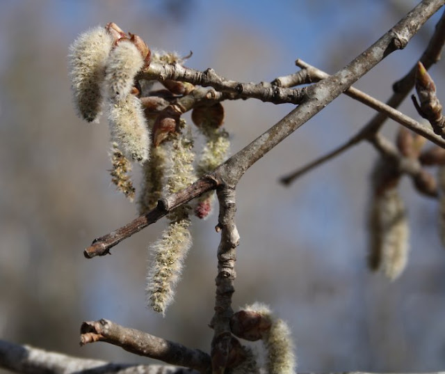 Birch tree catkins