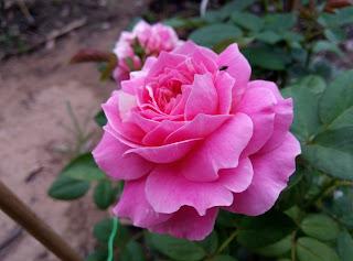 Hồng sọc Claude Monet Rose tại Sa Đéc