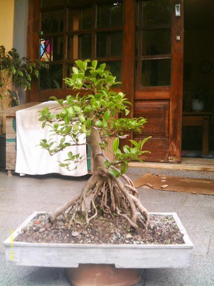 Ficus Microcarpa var. Indica... - Página 2 IMAG0176